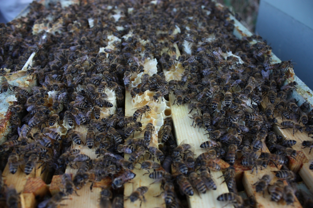 Beautiful Honey Bees