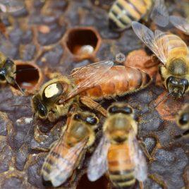 Buckfast Beckys Bees